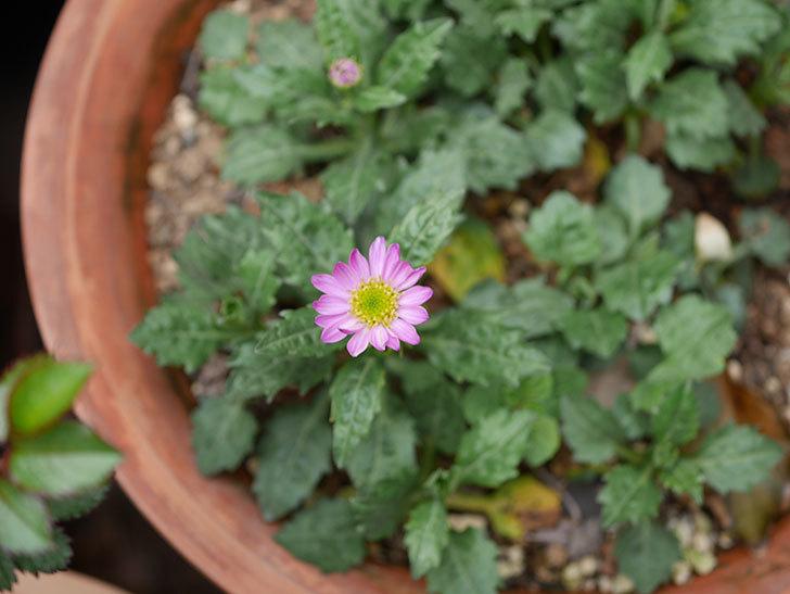 ピンクのミヤコワスレ(ノシュンギク)の花が1個咲いた。2020年-2.jpg