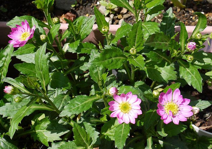 ピンクのミヤコワスレ(ノシュンギク)の花が咲いた1.jpg