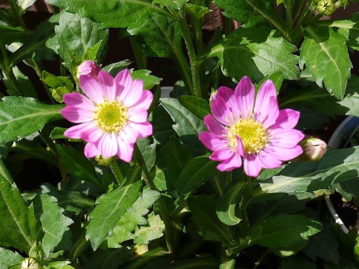 ピンクのミヤコワスレ(ノシュンギク)の花が咲いた2.jpg