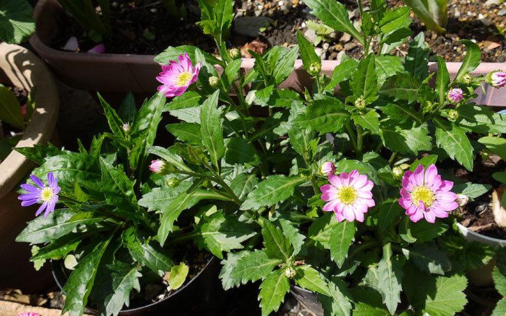 ピンクのミヤコワスレ(ノシュンギク)の花が咲いた3.jpg