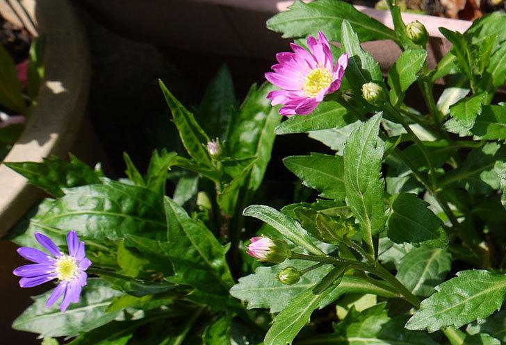 ピンクのミヤコワスレ(ノシュンギク)の花が咲いた4.jpg