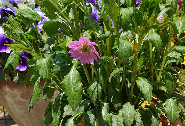 ピンクのミヤコワスレ(ノシュンギク)の花が咲いた。2015年-1.jpg
