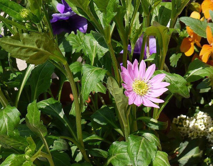 ピンクのミヤコワスレ(ノシュンギク)の花が咲いた。2015年-2.jpg