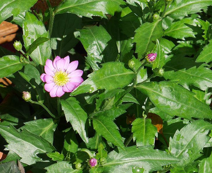 ピンクのミヤコワスレ(ノシュンギク)の花が咲いた。2019年-1.jpg
