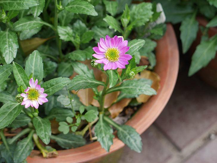 ピンクのミヤコワスレ(ノシュンギク)の花が咲いた。2021年-001.jpg