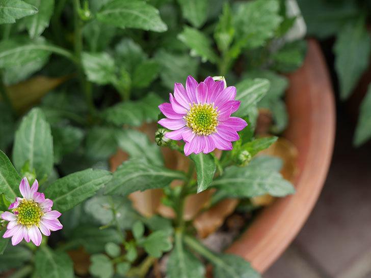ピンクのミヤコワスレ(ノシュンギク)の花が咲いた。2021年-002.jpg