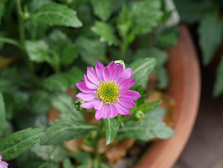 ピンクのミヤコワスレ(ノシュンギク)の花が咲いた。2021年-004.jpg