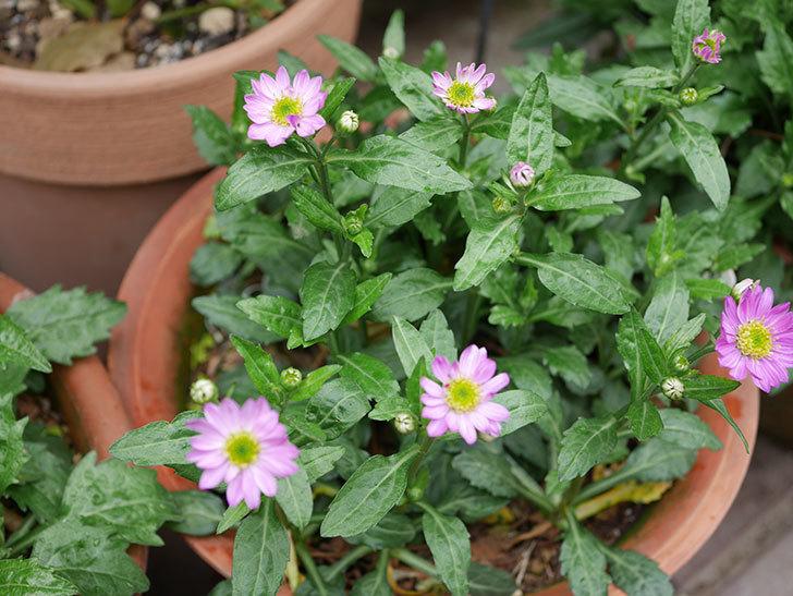 ピンクのミヤコワスレ(ノシュンギク)の花が咲いた。2021年-011.jpg