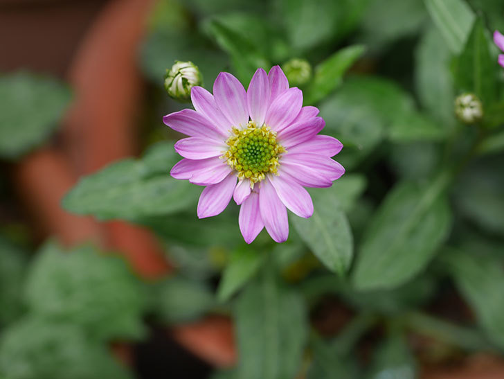 ピンクのミヤコワスレ(ノシュンギク)の花が咲いた。2021年-014.jpg
