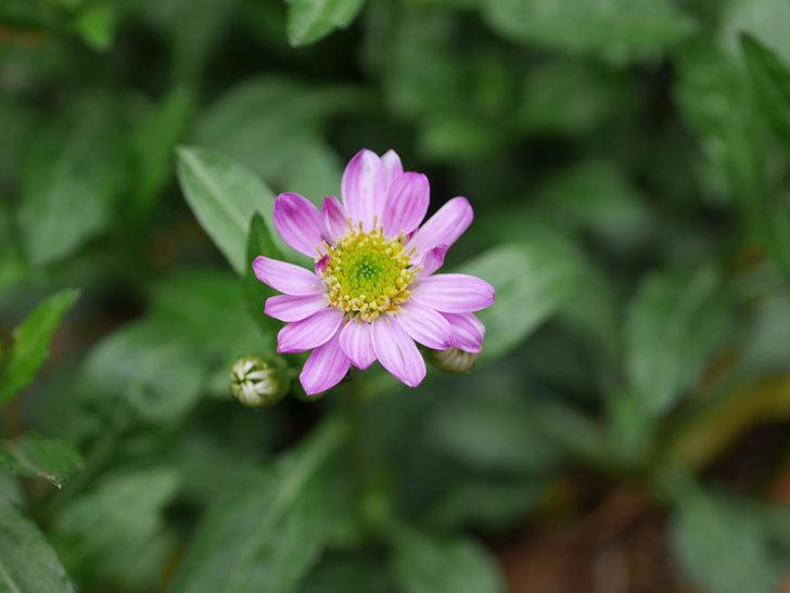 ピンクのミヤコワスレ(ノシュンギク)の花が咲いた。2021年-015.jpg