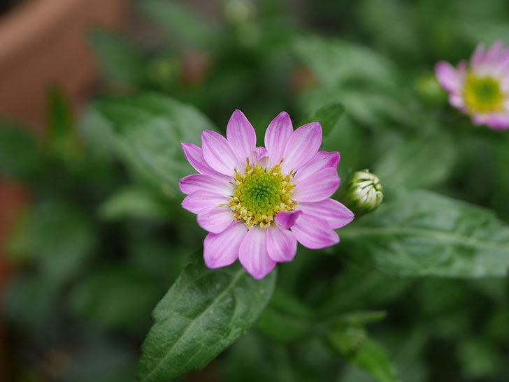 ピンクのミヤコワスレ(ノシュンギク)の花が咲いた。2021年-017.jpg