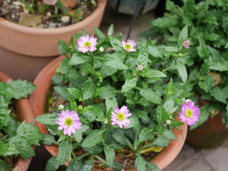 ピンクのミヤコワスレ(ノシュンギク)の花が咲いた。2021年-018.jpg