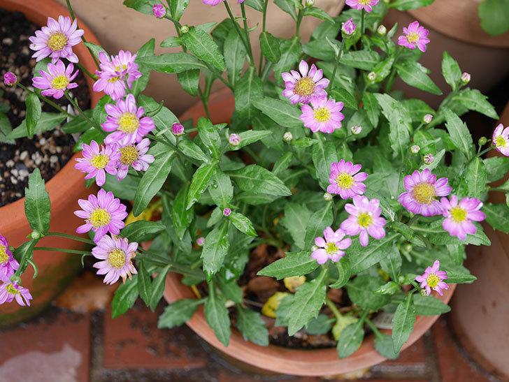 ピンクのミヤコワスレ(ノシュンギク)の花が増えてきた。2021年-001.jpg