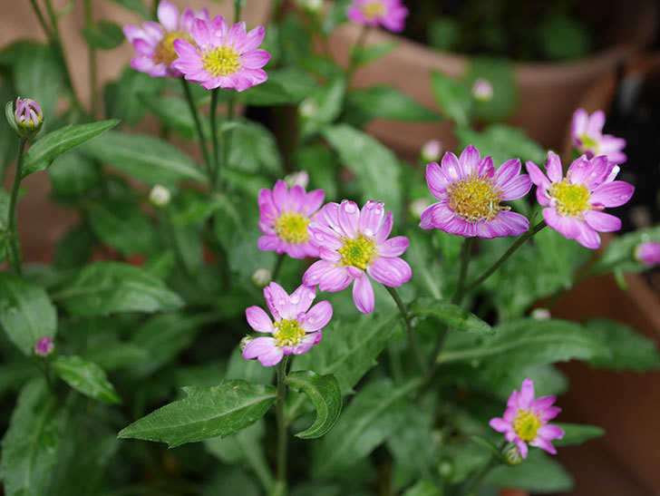 ピンクのミヤコワスレ(ノシュンギク)の花が増えてきた。2021年-002.jpg