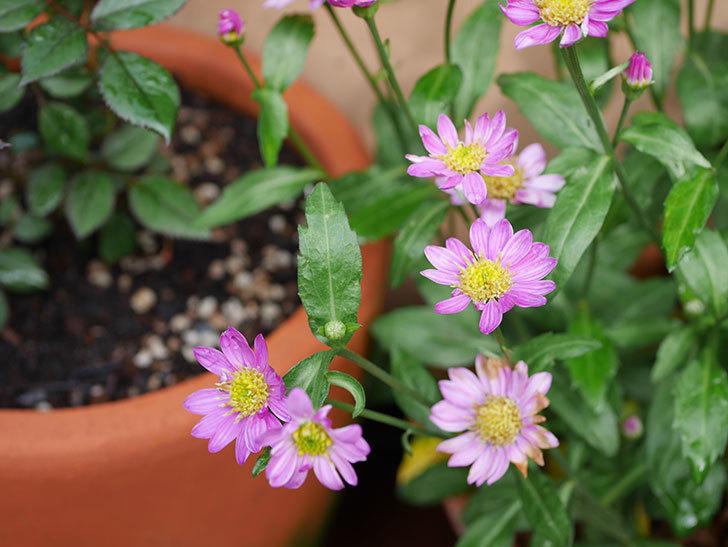 ピンクのミヤコワスレ(ノシュンギク)の花が増えてきた。2021年-003.jpg