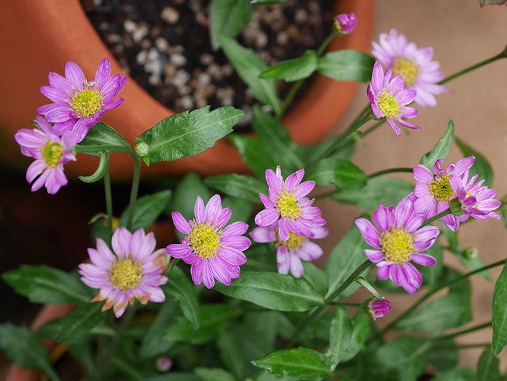 ピンクのミヤコワスレ(ノシュンギク)の花が増えてきた。2021年-004.jpg