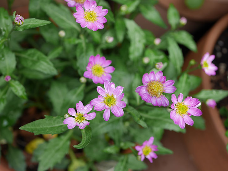 ピンクのミヤコワスレ(ノシュンギク)の花が増えてきた。2021年-005.jpg