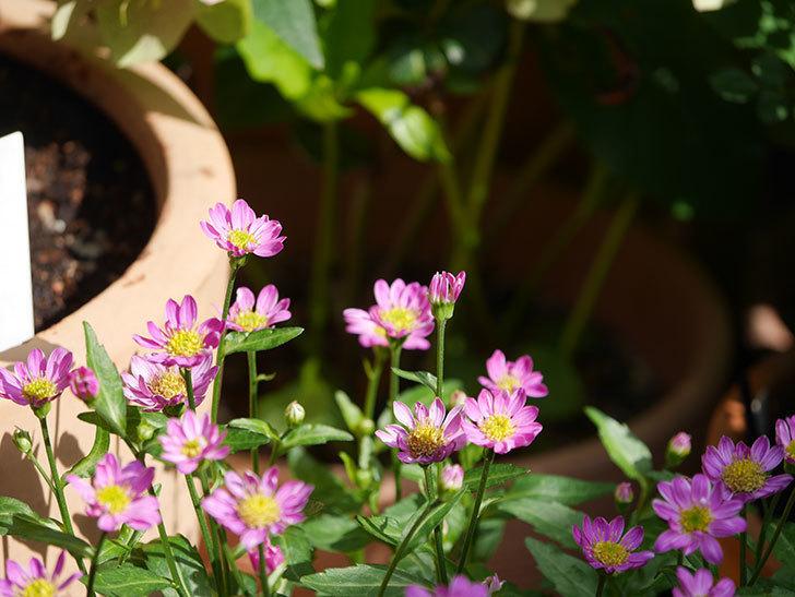 ピンクのミヤコワスレ(ノシュンギク)の花が増えてきた。2021年-006.jpg