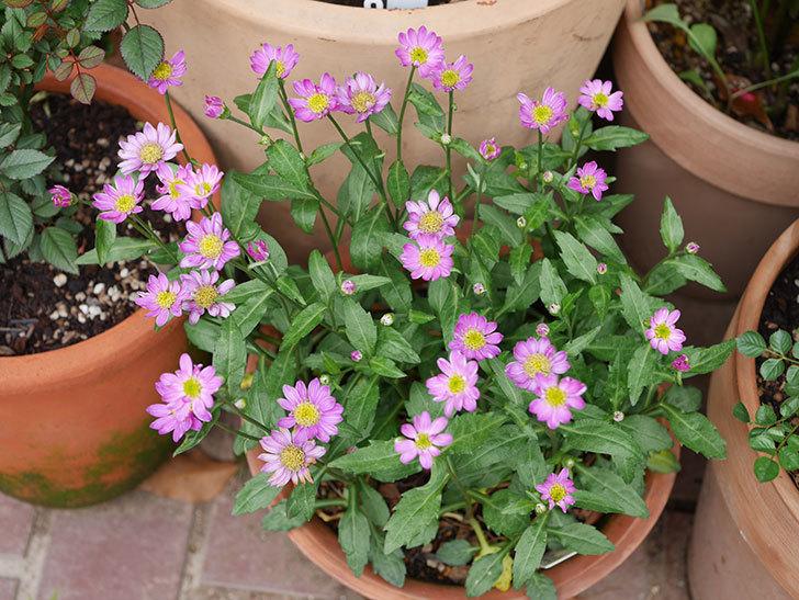 ピンクのミヤコワスレ(ノシュンギク)の花が増えてきた。2021年-008.jpg