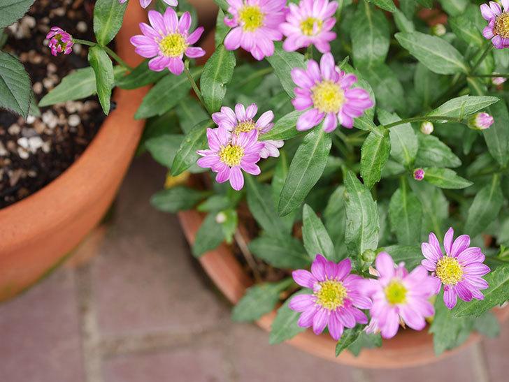 ピンクのミヤコワスレ(ノシュンギク)の花が増えてきた。2021年-009.jpg