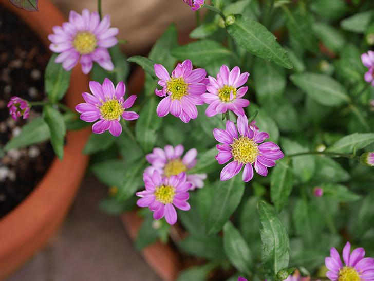 ピンクのミヤコワスレ(ノシュンギク)の花が増えてきた。2021年-011.jpg