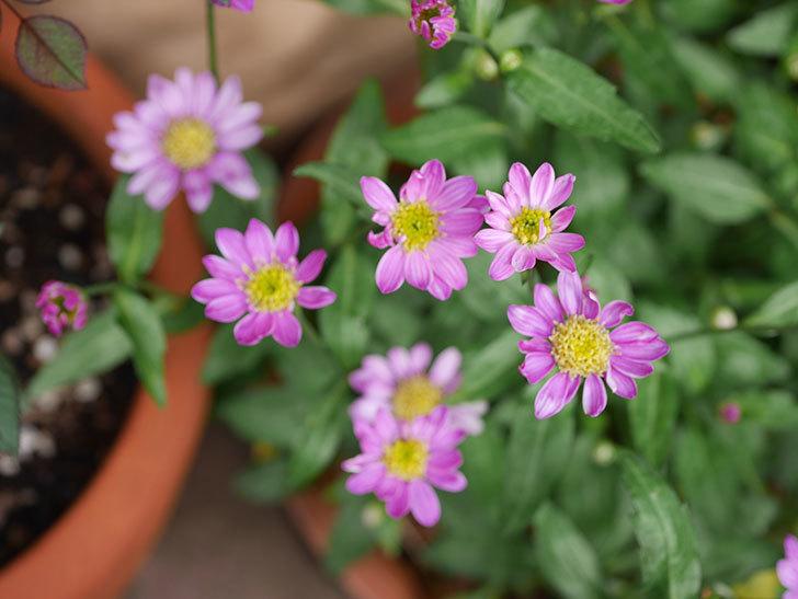 ピンクのミヤコワスレ(ノシュンギク)の花が増えてきた。2021年-012.jpg