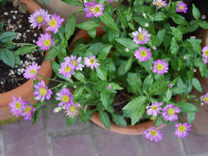 ピンクのミヤコワスレ(ノシュンギク)の花が増えてきた。2021年-013.jpg