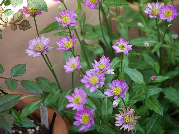 ピンクのミヤコワスレ(ノシュンギク)の花が増えてきた。2021年-017.jpg