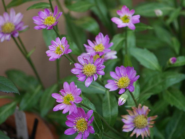 ピンクのミヤコワスレ(ノシュンギク)の花が増えてきた。2021年-019.jpg