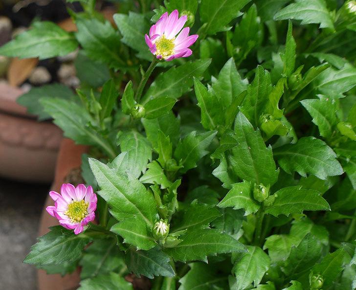 ピンクのミヤコワスレ(ノシュンギク)の花が少し咲いた。2017年-1.jpg