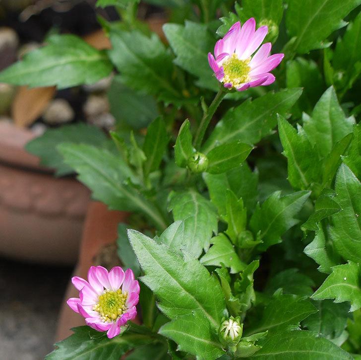ピンクのミヤコワスレ(ノシュンギク)の花が少し咲いた。2017年-3.jpg