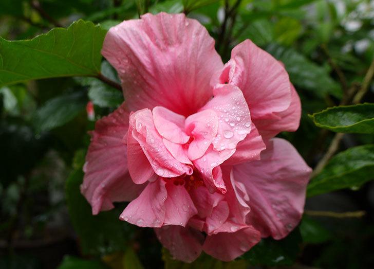 ピンクの八重咲きのハイビスカスが咲いた。2015年-2.jpg