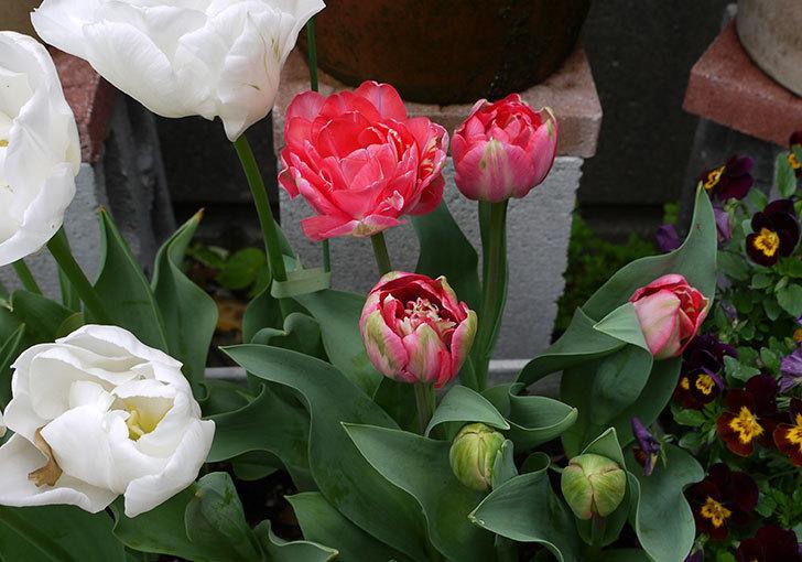 ピンクの八重咲きチューリップが咲いた。2016年-3.jpg