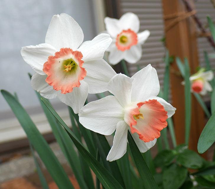 ピンクチャーム(スイセン)がたくさん咲いた。2018年-1.jpg