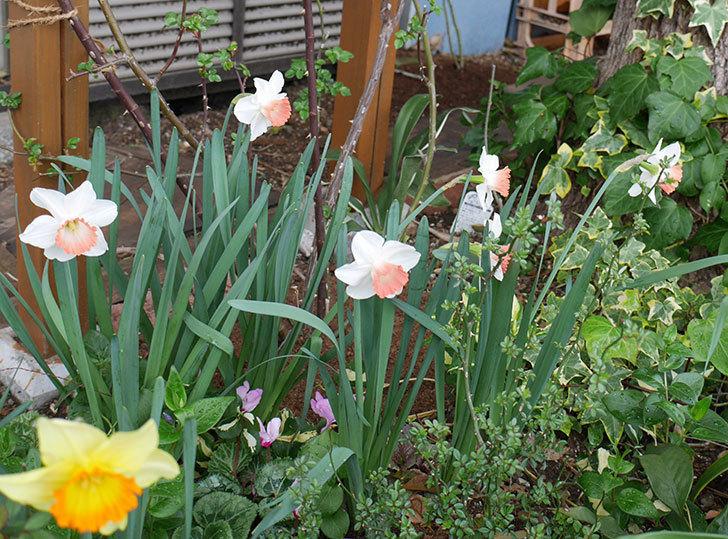 ピンクチャーム(スイセン)がたくさん咲いた。2018年-10.jpg