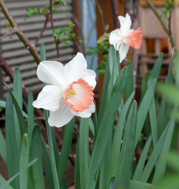 ピンクチャーム(スイセン)がたくさん咲いた。2018年-4.jpg