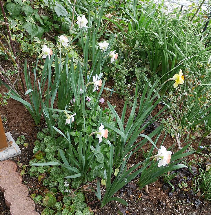 ピンクチャーム(スイセン)がたくさん咲いた。2018年-6.jpg