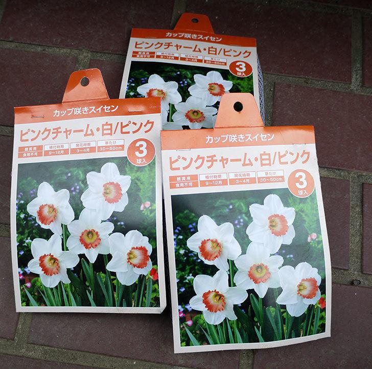 ピンクチャーム(スイセン)の球根がケイヨーデイツーで半額で3袋買って来た。2016年-1.jpg