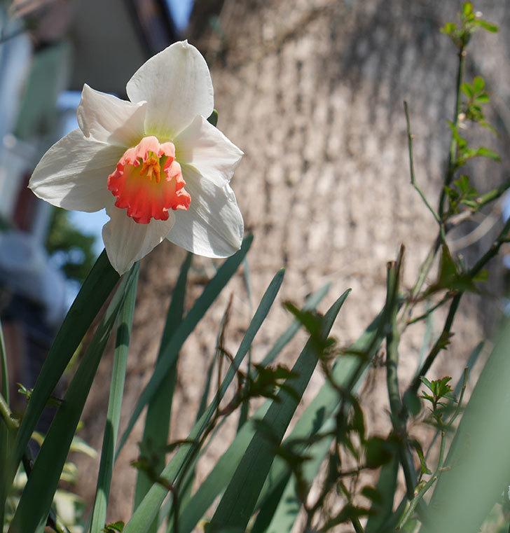 ピンクチャーム(スイセン)の花が1個咲いた。2019年-2.jpg