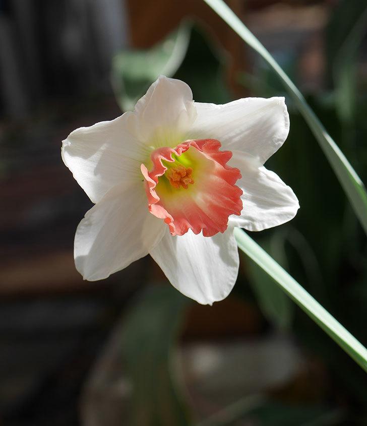 ピンクチャーム(スイセン)の花が1個咲いた。2020年-1.jpg