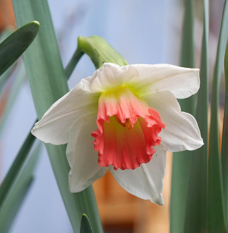 ピンクチャーム(スイセン)の花が咲いた。2018年-4.jpg