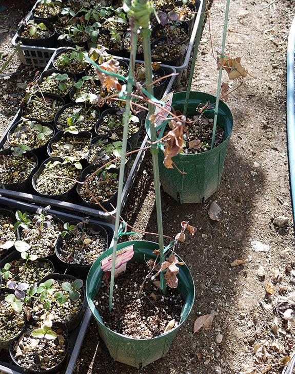 ピンクレッド(クレマチス)の鉢を地植えして誘引した。2017年-2.jpg