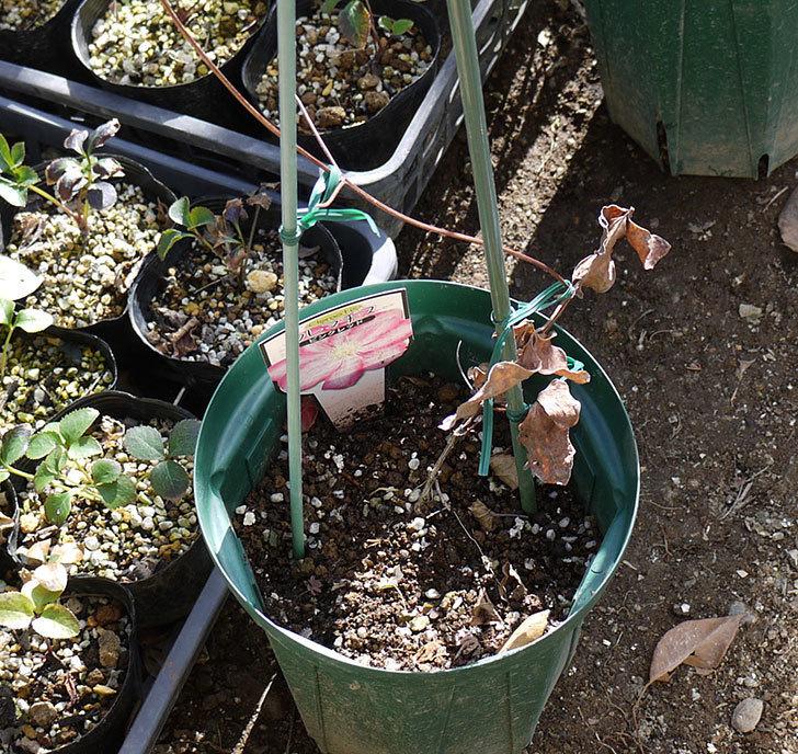 ピンクレッド(クレマチス)の鉢を地植えして誘引した。2017年-3.jpg