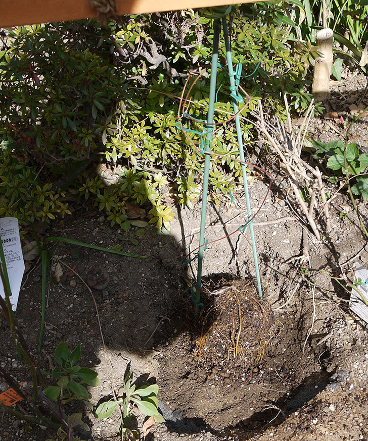 ピンクレッド(クレマチス)の鉢を地植えして誘引した。2017年-5.jpg