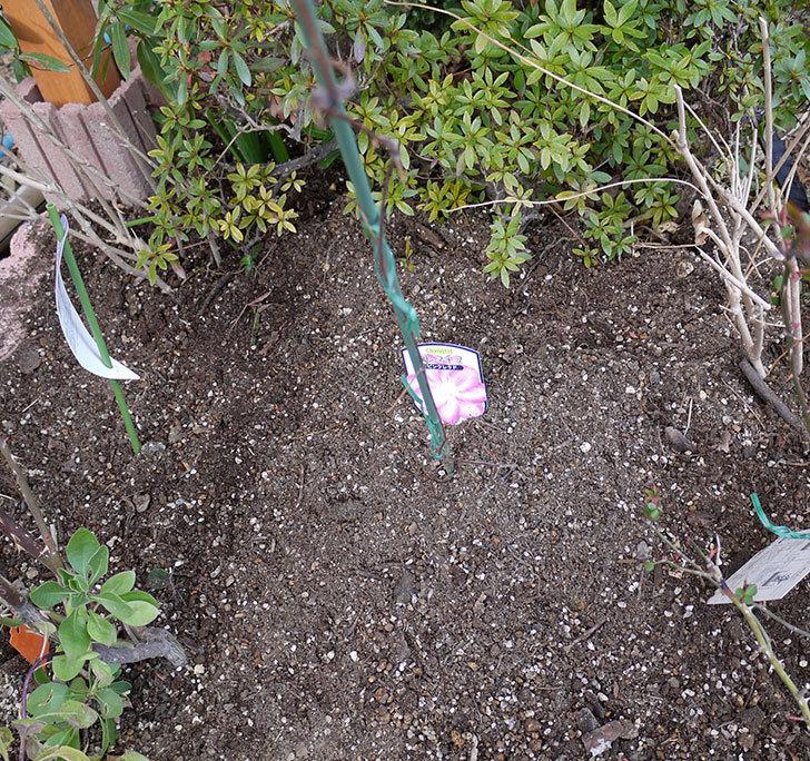 ピンクレッド(クレマチス)の鉢を地植えして誘引した。2017年-7.jpg