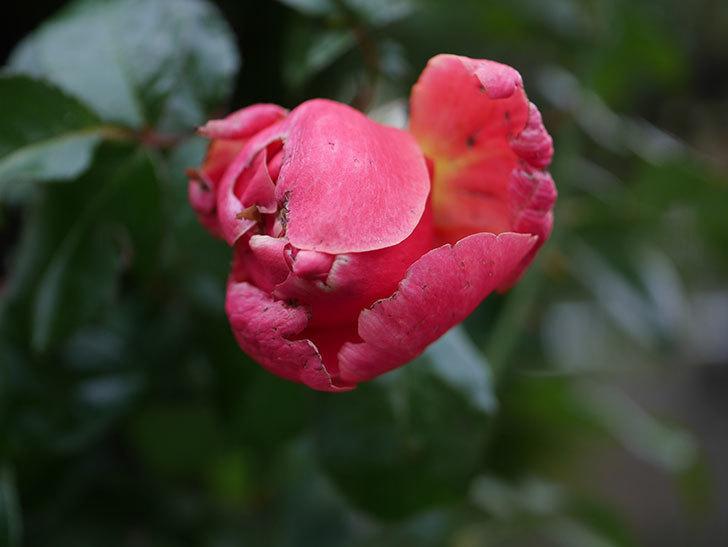 ピンク・ビンテージ(Pink Vintage)の新苗に秋花が咲いた。木立バラ。2020年-002.jpg