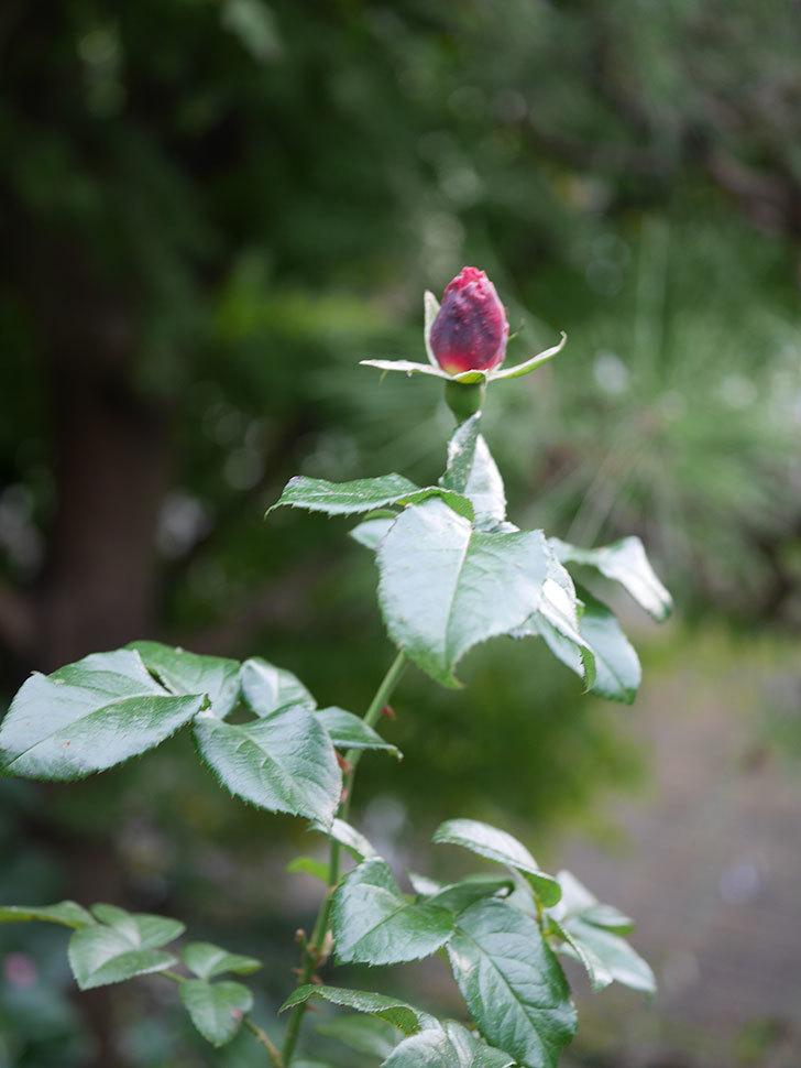 ピンク・ビンテージ(Pink Vintage)の新苗に秋花が咲いた。木立バラ。2020年-003.jpg