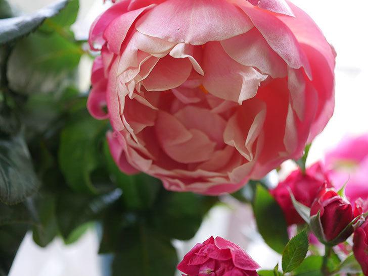 ピンク・ビンテージ(Pink Vintage)の新苗に秋花が咲いた。木立バラ。2020年-005.jpg