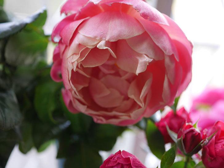 ピンク・ビンテージ(Pink Vintage)の新苗に秋花が咲いた。木立バラ。2020年-006.jpg