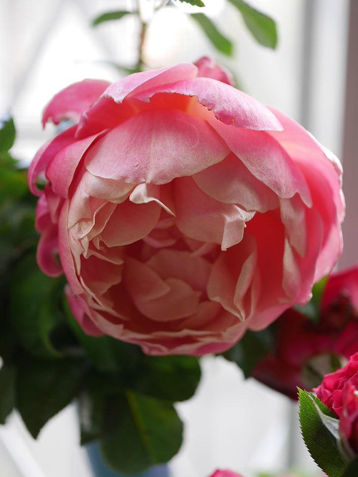 ピンク・ビンテージ(Pink Vintage)の新苗に秋花が咲いた。木立バラ。2020年-009.jpg